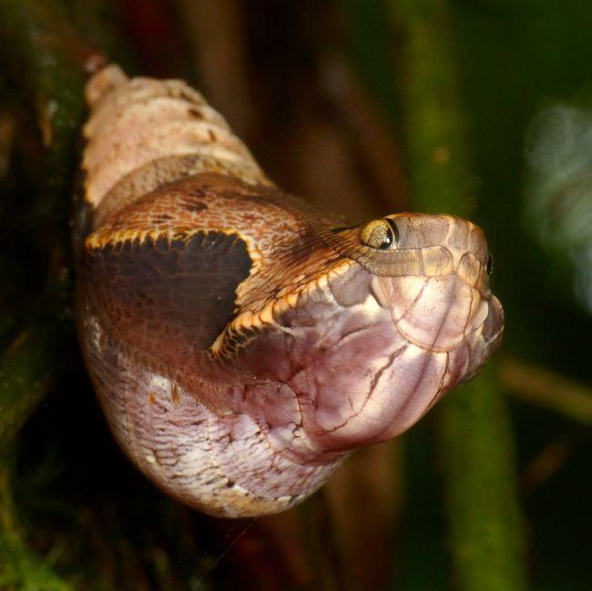 Kígyónak álcázott hernyó (Array)