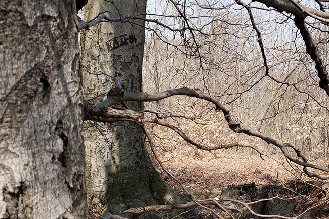 Normafa, természet, fa (Array)