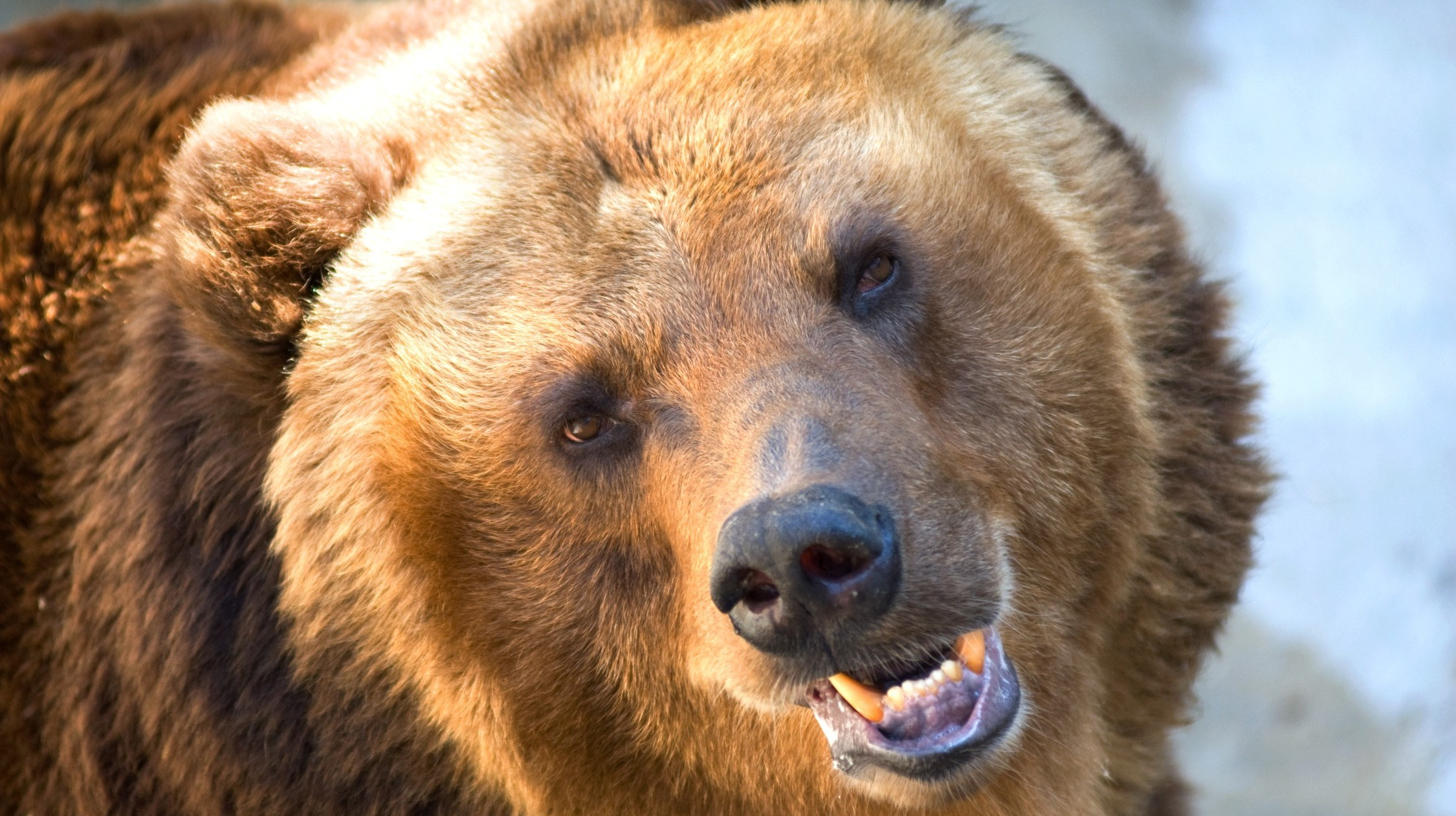grizzly (Array)