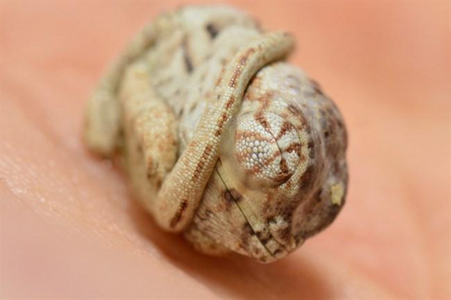 kameleon(650x433).jpg (Array)