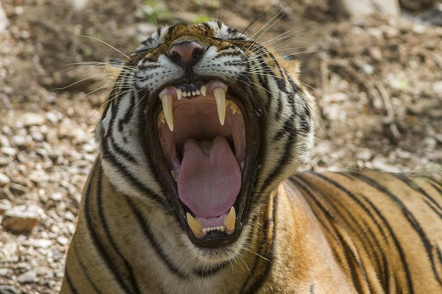 tigris (Array)