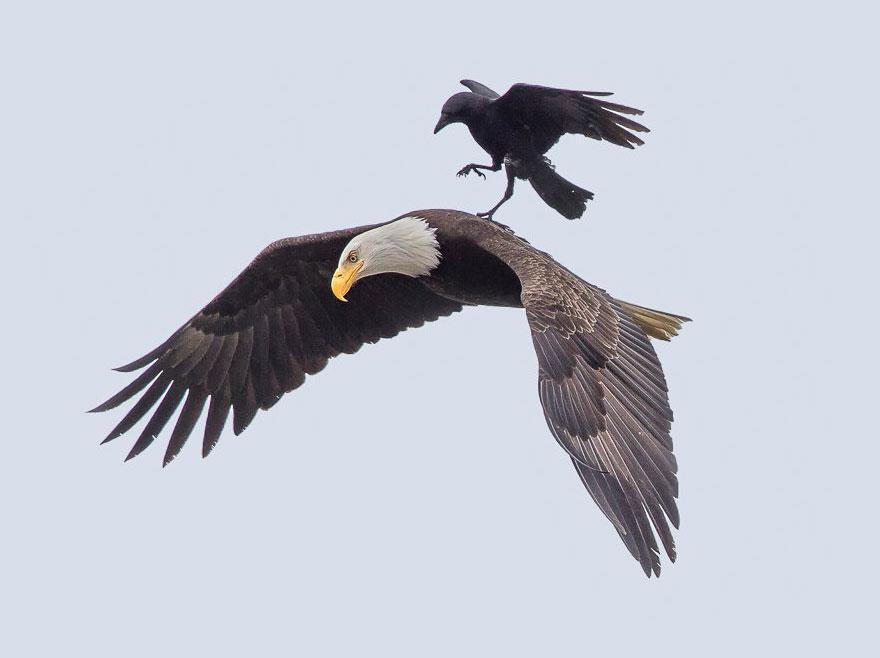 Sas hátán utazó varjú (Array)