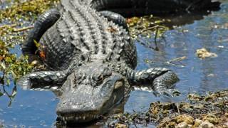 aligátor (Array)