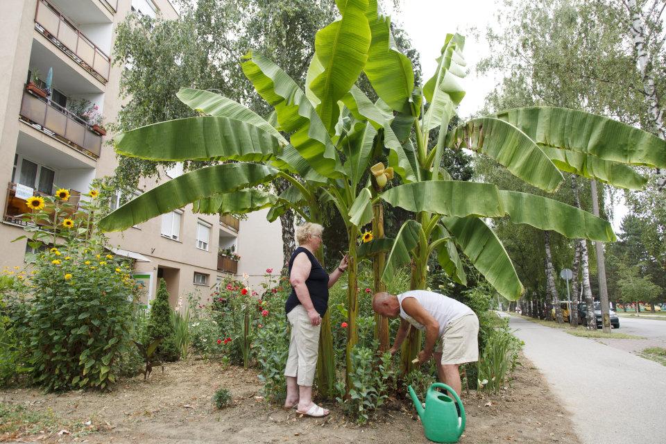 banánfa nagykanizsán (Array)