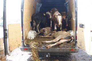 furgonba zsúfolt marhák (Array)