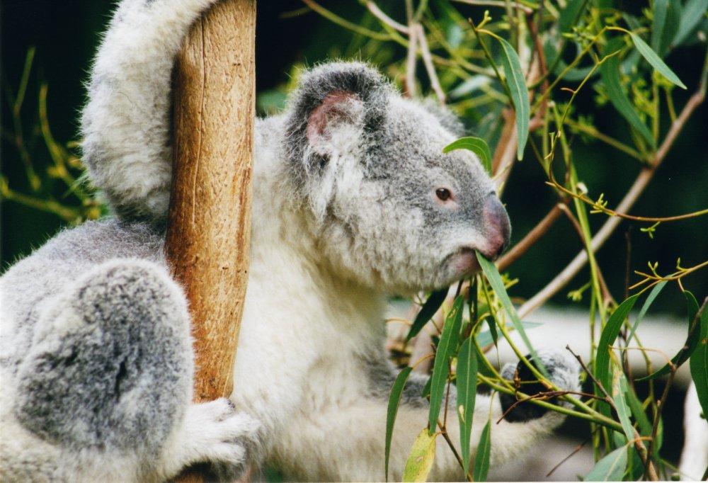 koala(960x640).jpg (Array)