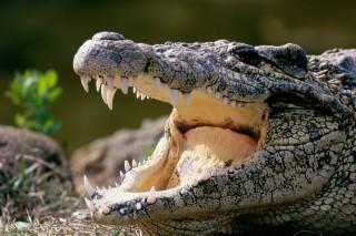 krokodil (Array)