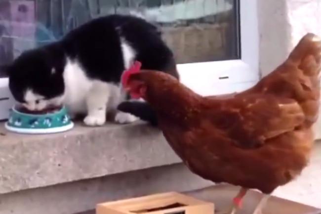 macska vs tyúk (Array)