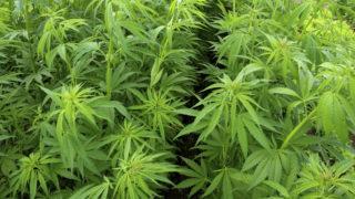 Marihuanaultetveny(960x640).jpg (Array)