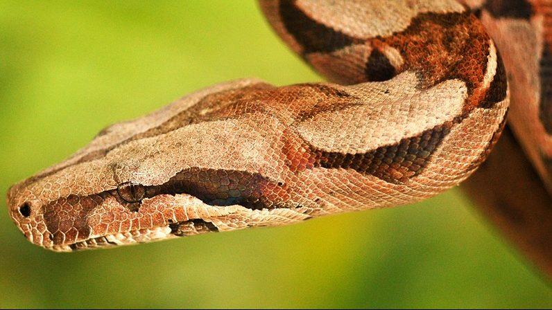 boa constrictor (Array)