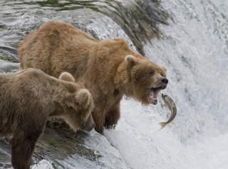 halászó medve (Array)