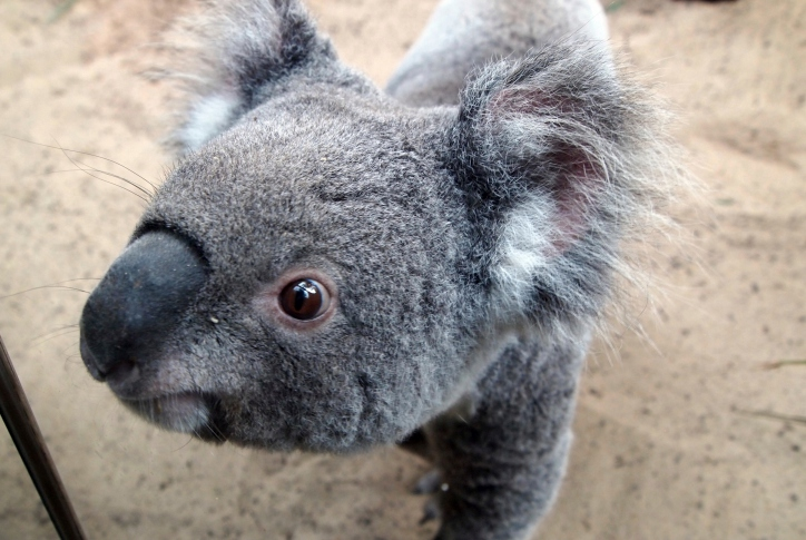 koala (Array)