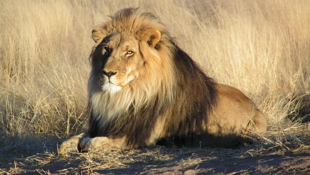 oroszlán (Array)