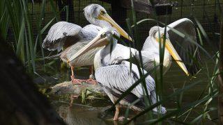 Jászberény, 2015. szeptember 17.Vörhenyes pelikánok (Pelecanus rufescens) a Jászberényi Állat-és Növénykertben 2015. szeptember 17-én. Öt darab nőstény, átlagosan húszéves korú vörhenyes pelikán érkezett a napokban Zágrábból a jászberényi állatkertbe.MTI Fotó: Mészáros János