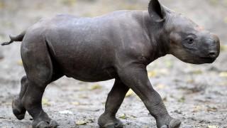 A rhinoceros baby walks through its enclosure in the zoo of Berlin, Germany, 24 October 2014. The calf was born on 14 October 2014. Photo: Britta Pedersen/dpa