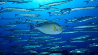 Yellowfin surgeonfish with Barracudas - French Polynesia .    Biosphoto / Vincent Truchet