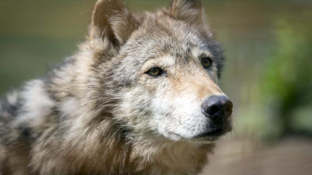 Gödöllõ, 2015. május 28. Egy farkas a Horkai Animal Training Centerben, a Discovery Channel hat epizódból álló új sorozata, a Zoltán, a Farkasember címû tévéfilmrõl tartott sajtótájékoztató színhelyén Gödöllõn 2015. május 28-án. A filmsorozat június 16-án indul a tévécsatornán. MTI Fotó: Mohai Balázs