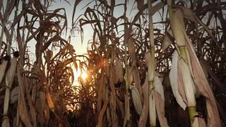 Debrecen, 2015. augusztus 16. Aszály sújtja az Agrárgazdaság Kft. kukorica ültetvényét. Hajdú Bihar megyében súlyos terméskiesést okoz az aszály a kukoricatáblákban, vannak helyek ahol az áprilisi vetés óta mindössze 20 mm esõ érte a növényeket. A sorok között megrekkenõ levegõ elérheti az 50 fokos meleget, ami lehetetlenné teszi csövek fejlõdését. MTVA/Bizományosi: Oláh Tibor  *************************** Kedves Felhasználó! Az Ön által most kiválasztott fénykép nem képezi az MTI fotókiadásának, valamint az MTVA fotóarchívumának szerves részét. A kép tartalmáért és a szövegért a fotó készítõje vállalja a felelõsséget.