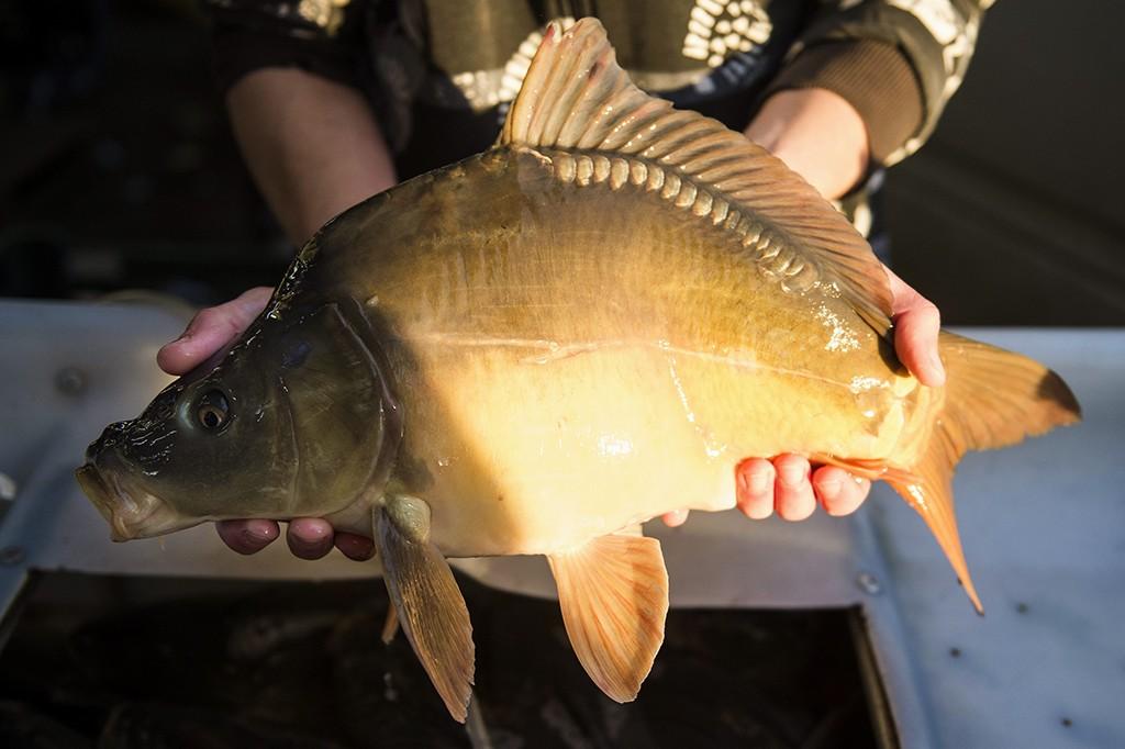 Pécs, 2014. december 23.Karácsonyi halászléhez árult tükörpont a pécsi vásárcsarnokban 2014. december 23-án.MTI Fotó: Sóki Tamás