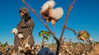 Uzbekistan, Silk Road, Khorezm province, women picking cotton