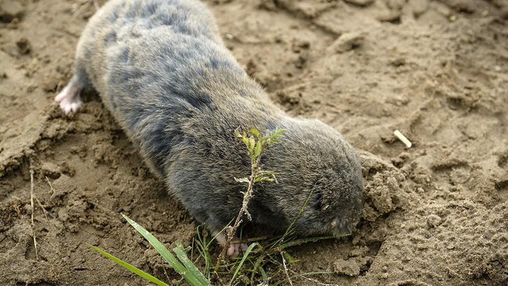 Bagamér, 2014. szeptember 11.Az erdélyi földikutya szabadon engedése előtt Bagamér határában 2014. szeptember 11-én. A Hortobágyi Nemzeti Park Igazgatóság (HNPI) szakemberei, nemzetközileg elismert szakértők közreműködésével, ismert populációkból származó egyedekkel új erdélyi földikutya populációt hoztak létre a Hajdúsági Tájvédelmi Körzet területén. Ez a világviszonylatban is egyedülálló akció nemcsak az erdélyi földikutya fennmaradásában játszhat fontos szerepet, hanem a többi endemikus földikutyafaj megmentéséhez is nélkülözhetetlen lehet.MTI Fotó: Czeglédi Zsolt