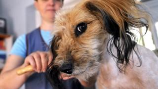 Budapest, 2013. április 25.Illyés Borbála kutyakozmetikus fésüli egy kutya szőrét egy pesterzsébeti kutyakozmetikában 2013. április 25-én.MTI Fotó: Bruzák Noémi