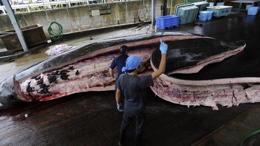 Vada, 2009. június 21. Baird-féle csõröscetet (Berardius bairdii) darabolnak fel japán halászok a Tokiótól délkeletre fekvõ Vadában 2009. június 21-én, miután megkezdõdött a japán bálnavadászat. A nyolc japán bálnavadász cég Baird-féle csõröscetekre és gömbfejû delfinekre vadászik, mert ezek azok a tengeri emlõsök, amelyek nem állnak a Nemzetközi Bálnavadászati Bizottság (IWC) védelme alatt. (MTI/AP/Kadzsijama Sudzsi) Iszonyatot keltõ képtartalom!