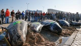 Calais, 2015. november 2. Érdeklõdõk partra vetett rövidszárnyú gömbölyûfejû-delfinek tetemeit nézik Calais egyik strandján 2015. november 2-án. Az állatvédõ aktivisták és a helyiek igyekezete ellenére a partot ért delfinek közül csak hármat tudtak visszaterelni a tengerbe. (MTI/EPA/Laurent Dubrule)