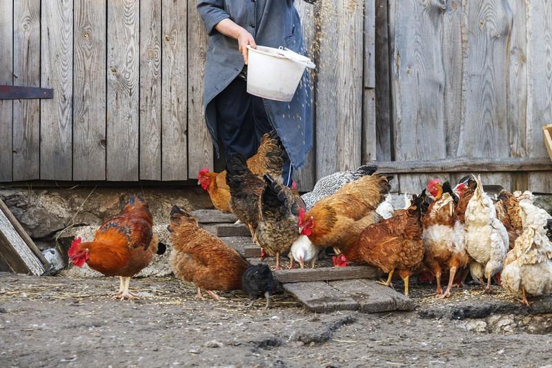 feeding chickens on a farm