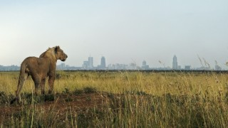 """A young lion looks towards the Nairobi skyline at the Nairobi national park on August 10, 2015. With all the attention on the cruel slaughter of Cecil the Lion by a US trophy hunter in Zimbabwe, the first international campaign to protect the imposing """"king of beasts"""" kicked off in Kenya on World Lion Day to draw attention to the silent extermination of the big cats around the world, iconised by the African lion and Asian tiger. According to National Geographic, some 200,000 lions roamed across Africa a century ago. Today, there are less than 30,000. AFP PHOTO / TONY KARUMBA / AFP / TONY KARUMBA"""