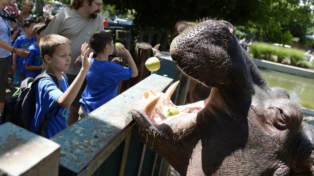 Budapest, 2015. július 16. Gyerekek a vízilovat etetik a budapesti állatkertben tartott nyári táborban 2015. július 15-én. MTI Fotó: Kovács Tamás