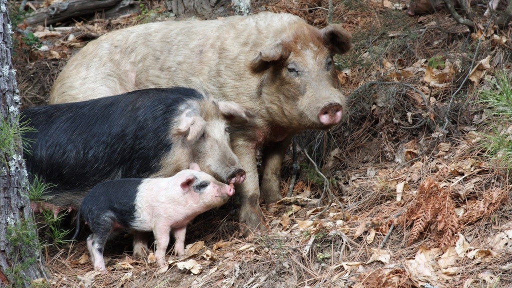 Corsican pigs loose in a chestnut grove - Corse France.    Biosphoto / Pascal Pittorino