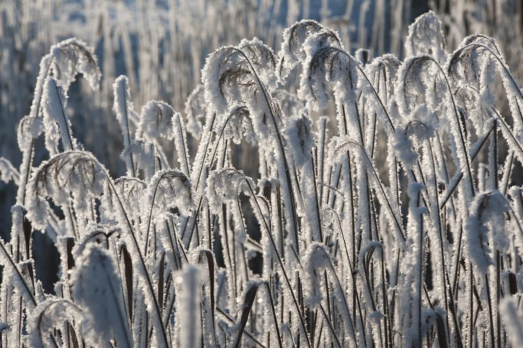 Hajdúszovát, 2016. január 23.Zúzmarás nád havazás után Hajdúszovát közelében 2016. január 23-án.MTI Fotó: Czeglédi Zsolt