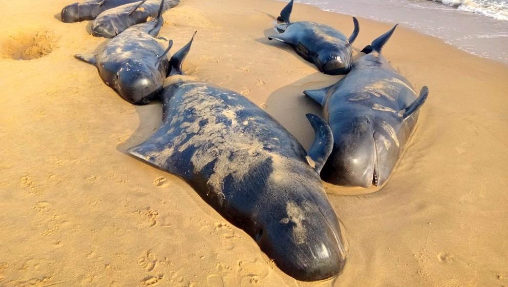 Manapad, 2016. január 12. Partra vetõdött rövidszárnyú gömbölyûfejû-delfinek tetemei a dél-indiai Tamil Nadu államban fekvõ Manapad tengerpartján 2016. január 12-én. Több mint nyolcvan rövidszárnyú gömbölyûfejû-delfin vetõdött partra, illetve rekedt a sekély öblök vizeiben a halászfalu környékén. (MTI/EPA)