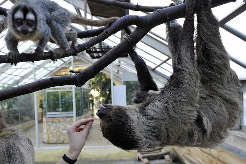 Budapest, 2016. január 13.Banya, a kétujjú lajhár nőstény kölykével a Fővárosi Állat- és Növénykert Pálmaházában 2016. január 13-án. A december 21-én született, az anyja hasán kapaszkodó kölyköt akkor lehet jól látni, ha a nőstény mászik az ágak között, vagy táplálkozik. Balra egy éji majom figyel.MTI Fotó: Kovács Attila