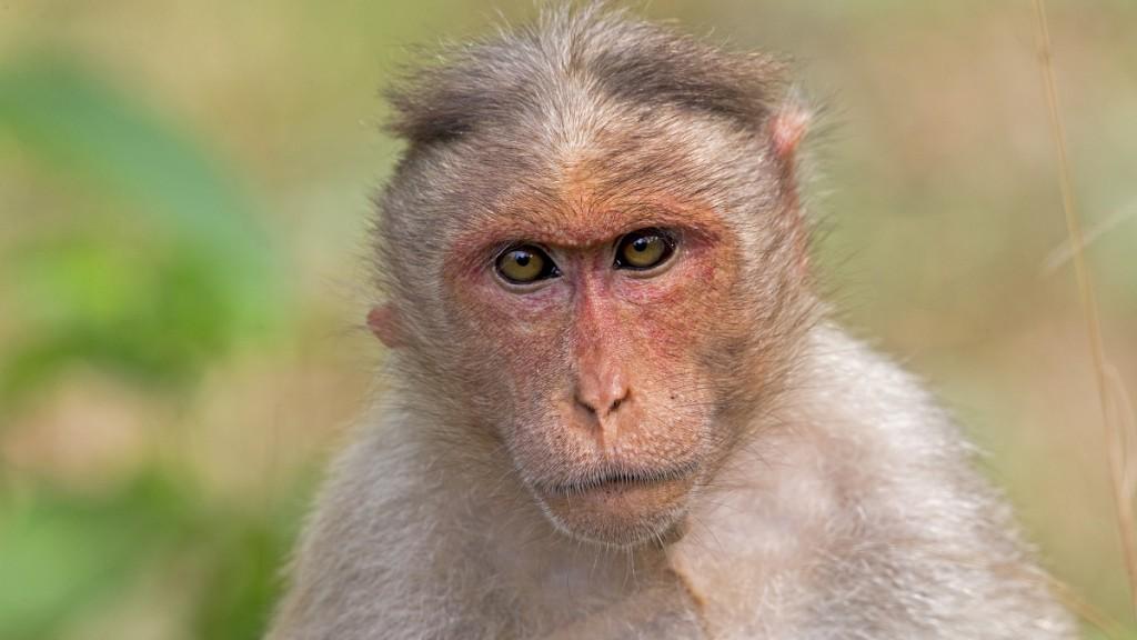 TIGER RESERVE OF KABINI  Portrait of Bonnet macaque - Nagarhole India.    Biosphoto / Sylvain Cordier