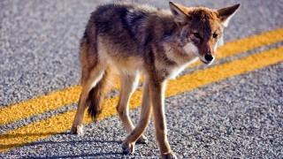 Coyote crossing road