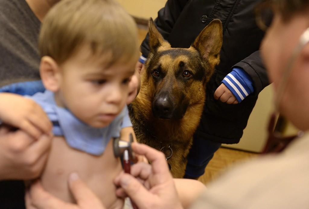 Budapest, 2016. február 10.Rex, Varga Károly gyermekorvos kutyája figyeli a vizsgálatot az óbudai Ányos utcai gyermekorvosi rendelőben 2016. február 10-én. A terápiás minősítéssel rendelkező német juhász minden rendelésre elkíséri gazdáját, ahol neki is szerepe van, megnyugtatja a gyerekeket, leköti a figyelmüket.MTI Fotó: Kovács Tamás