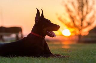 Doberman dog puppy