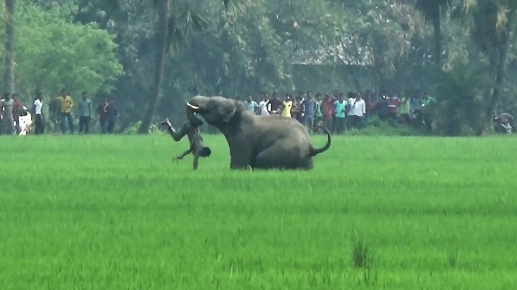 In this photograph taken on March 20, 2016, an elephant attacks an Indian resident in a field in Baghasole village, in Burdwan district of West Bengal state. Five people have been killed by wild elephants that went on a rampage through a number of villages in eastern India, a local official said March 21. Another man was critically injured by the four elephants in West Bengal state on March 20 after apparently straying from their herd.  / AFP / -