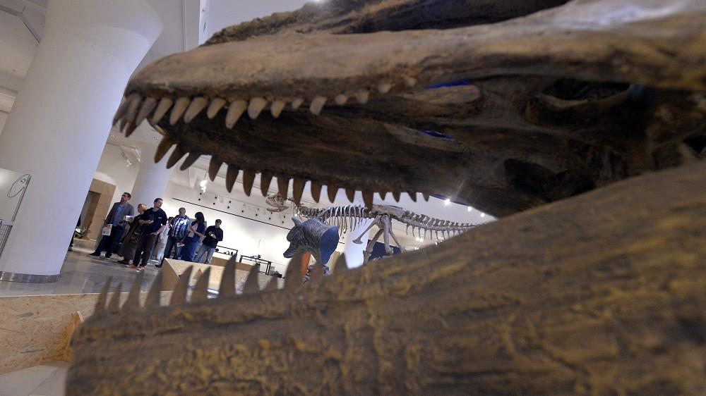 Budapest, 2013. szeptember 24. A Magyar Természettudományi Múzeum készülõ Patagónia óriásai - Argentin dinoszauruszok címû kiállításának részlete 2013. szeptember 24-én. A tárlat szeptember 28-án nyílik. MTI Fotó: Máthé Zoltán