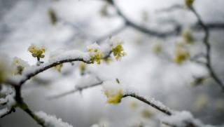 Pécs, 2016. március 23. Behavazott virágzó fa a Mecsekben, Pécs közelében 2015. március 23-án. MTI Fotó: Sóki Tamás