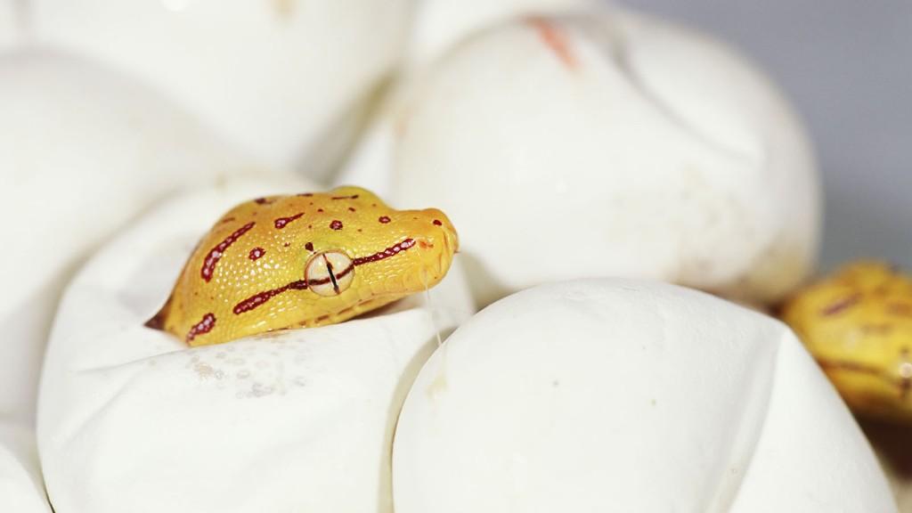 Hatching Python