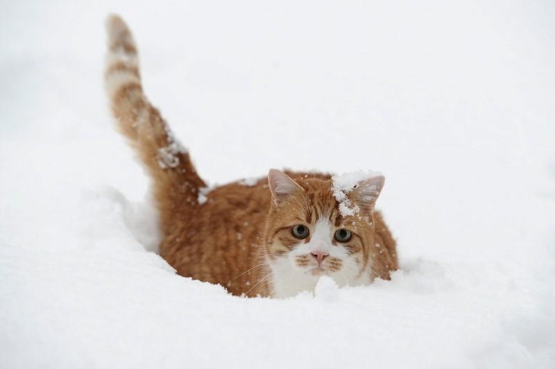Busbach, 2010. december 21. Hóban gázol egy macska a németországi Busbachban 2010. december 21-én, amikor az erõs hideg és az ismétlõdõ havazás továbbra is jelentõs fennakadásokat okoz a légi, a vasúti és a közúti közlekedésben egyaránt Németországban és Nyugat-Európa nagy részén. (MTI/EPA/David Ebener)