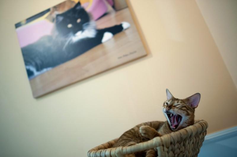 Budapest, 2013. február 28. A Signora Suono nevû macska ásít a Cat Café Budapest kávézóban 2013. február 28-án. A Révay utcában megnyílt kávézó 15 macskával várja a vendégeket. MTI Fotó: Marjai János