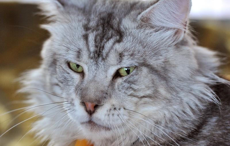 Esztergom, 2012. augusztus 25. Egy Maine Coon macska az esztergomi nemzetközi macskakiállításon 2012. augusztus 25-én. MTI Fotó: Máthé Zoltán