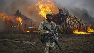 Nairobi, 2016. április 30. A Kenyai Vadvédelmi Szolgálat (KWS) egyik vadõre felügyeli az elkobzott elefántagyar-halmok megsemmisítését a Nairobi Nemzeti Parkban a kenyai fõváros, Nairobi közelében 2016. április 30-án. A KWS rekord mennyiségû, 105 tonnányi elefántagyart éget el a nap folyamán. (MTI/EPA/Dai Kurokawa)