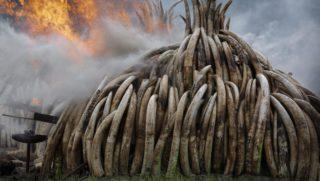 Nairobi, 2016. április 30. A Kenyai Vadvédelmi Szolgálat (KWS) elkobzott elefántagyar-halmok megsemmisítését végzi a Nairobi Nemzeti Parkban a kenyai fõváros, Nairobi közelében 2016. április 30-án. A KWS rekord mennyiségû, 105 tonnányi elefántagyart éget el a nap folyamán. (MTI/EPA/Dai Kurokawa)