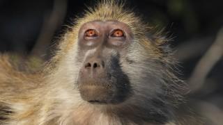 Olive baboon grooming - Botswana.    Biosphoto / Stéphan Bonneau