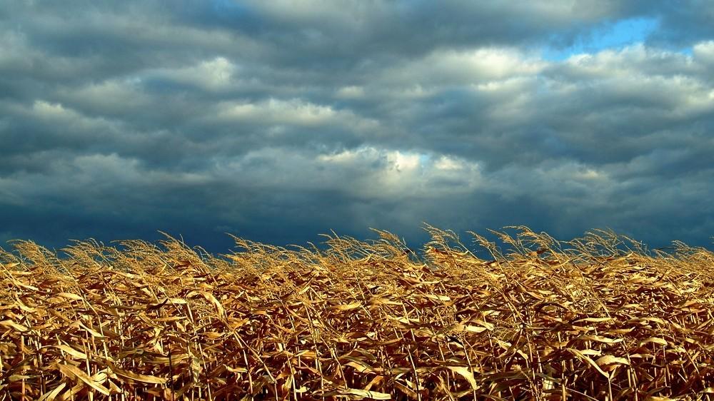 Dried corn field beneath gray storm clouds.